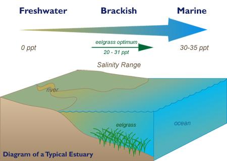 Seagrassli Cornell Cooperative Extension Eelgrass Restoration